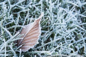 Again, it is the texture of the frost that makes this image work for me, coupled with the diagonal lines of  the leaf.